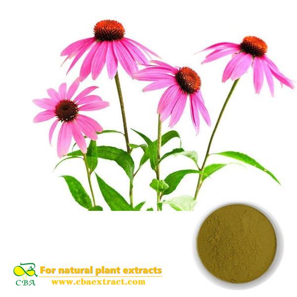 Echinacea Extract Best Quality Polyphenols 4% Echinacea Extract