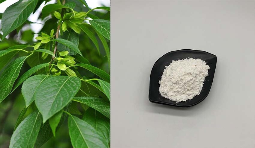 Eucommia Ulmoides Extract