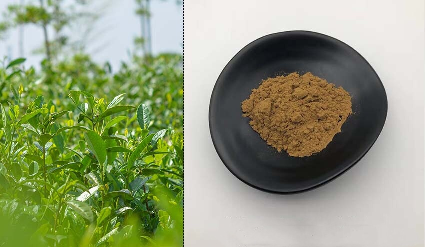 Green Tea Extract/Camellia Sinensis