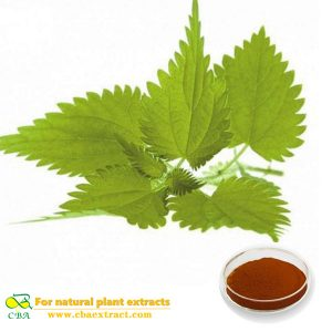 NETTLE EXTRACT Urtica angustifolia Nettle root Urtica dioca 101 Nettle Extract powder