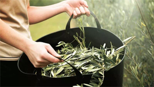 A Beginners Guide to Olive Leaf Extract
