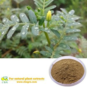 Pharmaceutical Ingredient 90% Tribulus Terrestris Extract Tribuloside Pharmaceutical Ingredient