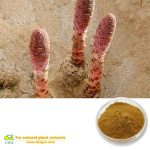 Songaria Cynomorium Herb Extract Cynomorium songaricum Songaria Cynomorium Herb extract