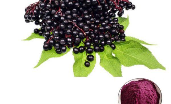 High Quality Pure Black Elderberry Powder Extract Sambucus Williamsii Hance powder